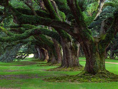 Ambassador Club Pécs  - nagyon idős fák